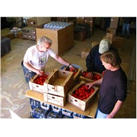 Eric and his team from Bread of Life Ministries sorting tomatoes for delivery